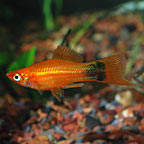 Red Mickey Mouse Swordtail