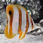 Butterflyfish Marine Fish