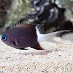 Black & White Chromis