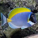 Surgeonfish: Tang Fish, Yellow Tangs and other Surgeons