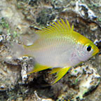 Lemon Chromis