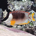 Foxface & Rabbitfish Marine Fish
