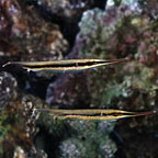 Striped Shrimpfish