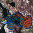 Dragonets Marine Fish