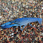 Cobalt Blue Lobster
