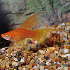 Hi Fin Lyretail Swordtail
