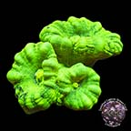 Caulastrea Coral - Aquacultured