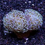 LPS Coral 3 Pack, Maricultured