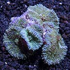 Tongan Soft Coral 3 Pack