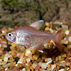 Tetra Fish: Neon Tetras, Cardinal Tetras and other Fish Varieties