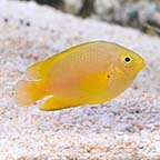 Lemon Damselfish, Captive-Bred ORA®