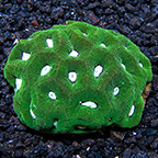 Goniastrea Coral, Green with Neon Green Centers