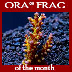 The Carl Acropora, Aquacultured ORA®