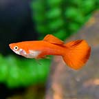 Red Flamingo Guppy, Male