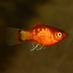 Neon Marigold Mickey Mouse Platy