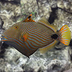 Undulate Triggerfish