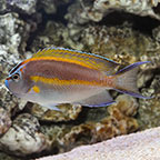 Bellus Angelfish