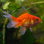Fantail Goldfish, Red