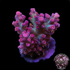 Corals for Sale: Rare Corals & other Certified Captive Grown Acropora Corals