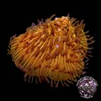 Corals For Sale: Rare Corals and other Marine Corals Certified Captive Grown