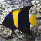 Asfur Angelfish, Captive-Bred