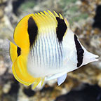 Falcula Butterflyfish, True