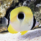 Tear Drop Butterflyfish