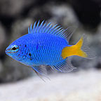 Damselfish: Blue, Yellow and other Types of Damselfish Species for Sale