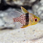 Cardinalfish Marine Fish