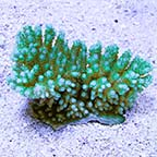 Anthocercis Acropora Coral