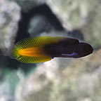 Yellowtail Black Blenny