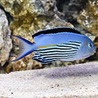 Watanabei Angelfish, Male