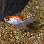 Telescope Goldfish, Assorted