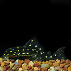Gold Spotted (L-136) Plecostomus