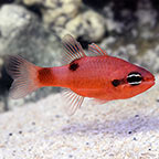 Flame Cardinalfish