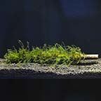 Java Moss on Bamboo Stick