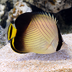Indian Vegabond Butterflyfish