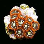 Colony Polyp, Orange Aquacultured ORA®