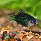 Green Tiger Barb