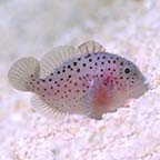 Spotted Coral Croucher Goby