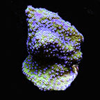 Melonberry Montipora, Aquacultured, ORA®
