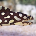 Spotted Moray 'Skeletor' Eel