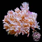 Red Sea Pom Pom Xenia Coral, Aquacultured