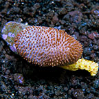 Toadstool Mushroom Leather Coral Tonga (click for more detail)