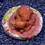 Encrusting Montipora Coral Indonesia (click for more detail)