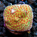 LiveAquaria® Sand Dollar Montipora Coral (click for more detail)