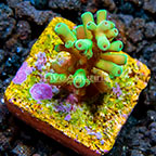 TCN Deepwater Bottlebrush Green Sheen Acropora Coral (click for more detail)