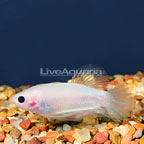 Roundtail Betta, Male (click for more detail)