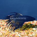 Black Smoke Crowntail Betta, Male (click for more detail)
