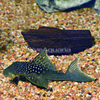 Large Blue Phantom (L-128) Plecostomus (click for more detail)